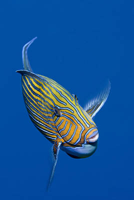 Striped Surgeonfish Poster