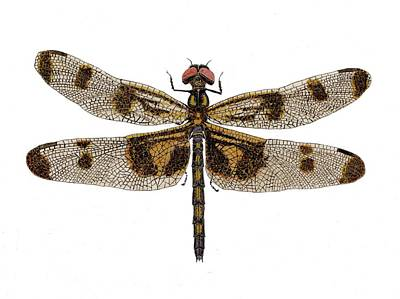 Poster featuring the painting Study Of A Banded Pennant Dragonfly by Thom Glace