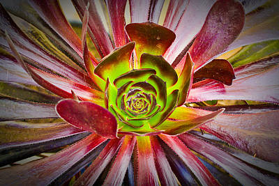 Succulent Aeonium Poster by Tom Gowanlock