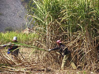 Sugar Cane Harvest Poster by Bjorn Svensson