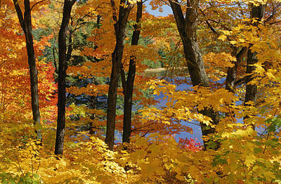 Sugar Maples, Gatineau Park, Quebec Poster by Mike Grandmailson