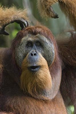 Sumatran Orangutan Male Calling Gunung Poster