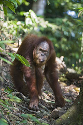 Sumatran Orangutan Male Gunung Leuser Poster