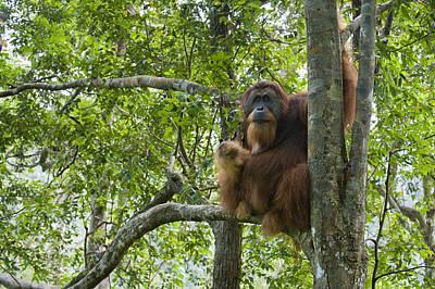 Sumatran Orangutan Male In Tree Gunung Poster