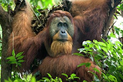 Sumatran Orangutan Pongo Abelii Poster