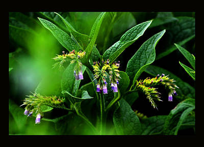 Poster featuring the photograph Summer Comfrey Blooms by Susanne Still