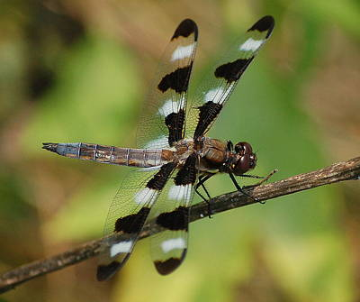 Summer Dragonfly Poster