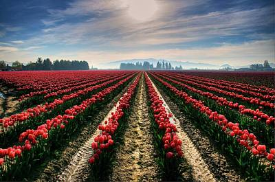 Sun Kissed Tulips Poster