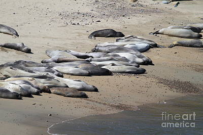 Sunbathing Elephant Seals Along A Beach At Point Reyes California . 7d16063 Poster by Wingsdomain Art and Photography