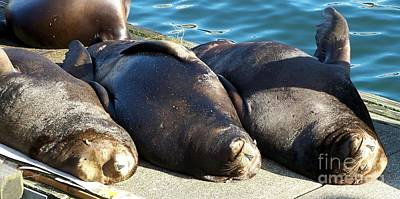 Sunbathing Sea Lions Poster by Chalet Roome-Rigdon