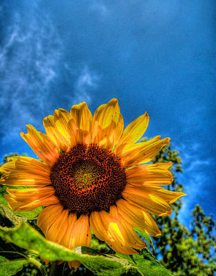 Sunflower Poster by Andre Faubert