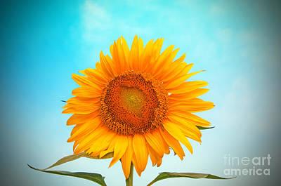 Sunflower Poster by Chris Mason