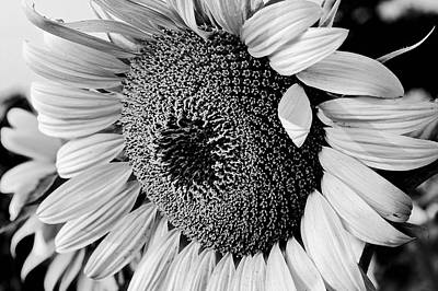 Poster featuring the photograph Sunflower by Dan Wells