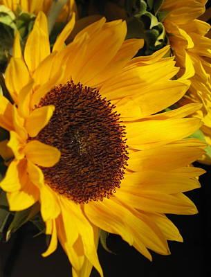 Sunflower--dappled Light Poster by Vikki Bouffard