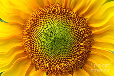 Sunflower Fantasy Poster by Benanne Stiens