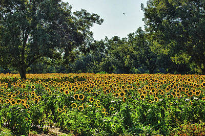 Sunflower Field In The Trees Poster