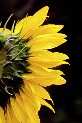 Sunflower From Side Poster