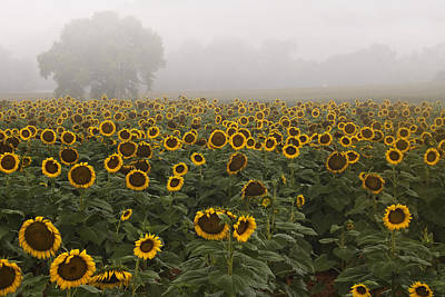 Sunflower Morning Ll Poster by Rob Travis