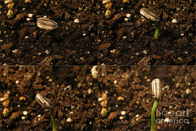 Sunflower Seedling Growth Sequence Poster by Ted Kinsman
