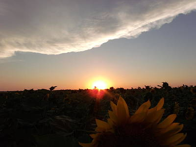 Sunflower Sunset Poster by Brian  Maloney
