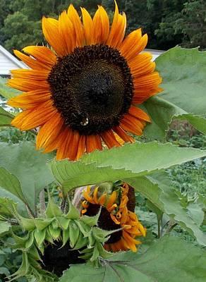 Sunflowers Poster by Angelika MacDonald