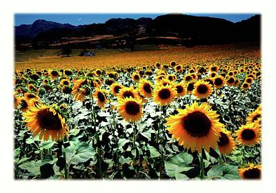 Sunflowers At Dusk Poster by Mal Bray