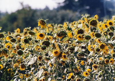 Poster featuring the photograph Sunflowers by Maureen E Ritter