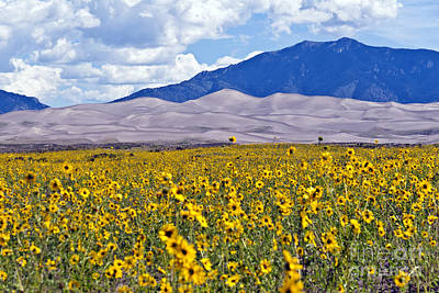 Sunflowers On The Great Sand Dunes Poster