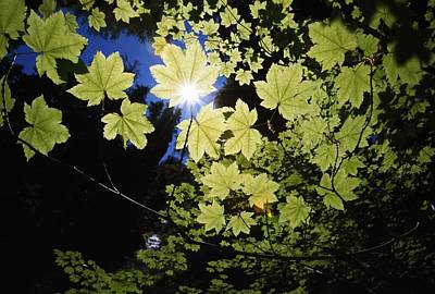 Sunlight Through Maple Leaves Poster by Natural Selection Craig Tuttle