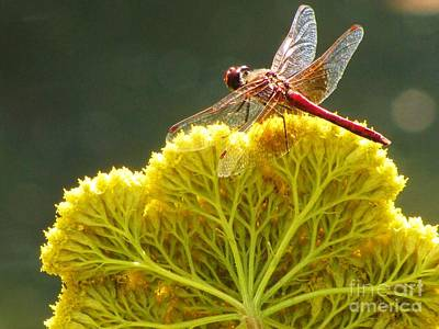 Poster featuring the photograph Sunlit Dragonfly On Yellow Yarrow by Michele Penner