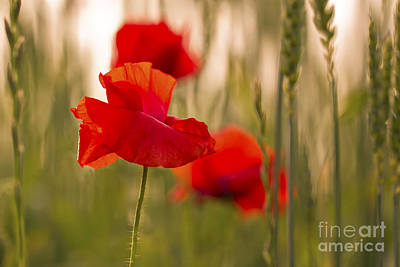 Poster featuring the photograph Sunset Poppies. by Clare Bambers
