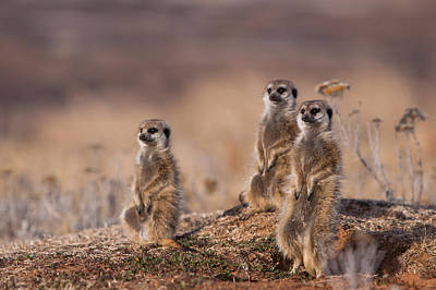 Suricate Family Poster by Hein Welman