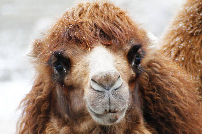 Surprised Camel Poster