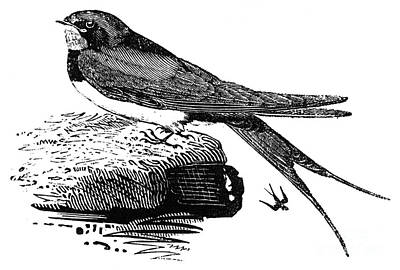 Swallow, C1800 Poster by Granger