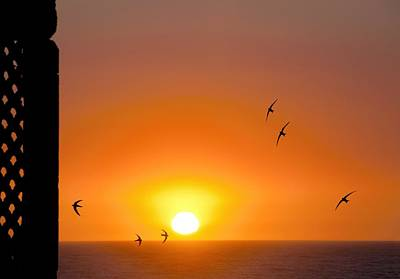 Swallows Flying At Sunset Poster