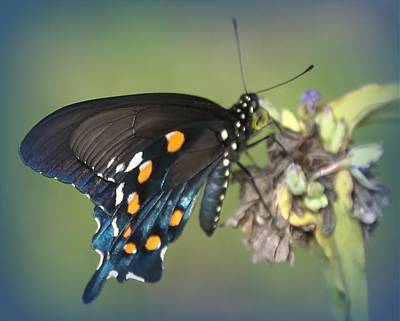 Poster featuring the photograph Swallowtail 1 by Judy Hall-Folde
