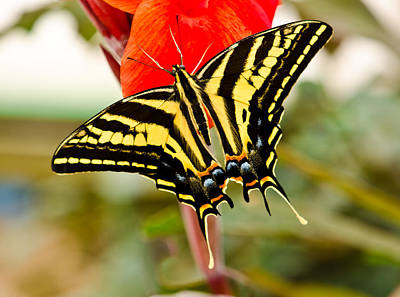 Swallowtail Butterfly Poster by Chris Thaxter