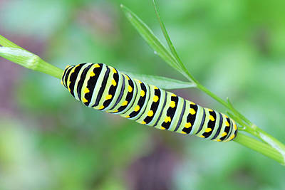 Swallowtail Caterpillar On Parsley Poster
