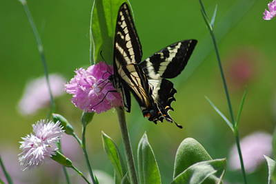 Swallowtail On Pink Poster