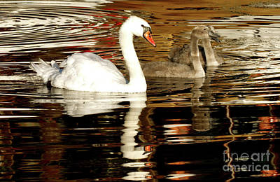 Swan Family In Evening Poster by Charles Lupica