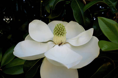 Sweet Magnolia Poster by Paul Mashburn