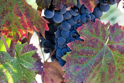 Syrah Grapes With Autumn Leaves Poster by Dina Calvarese