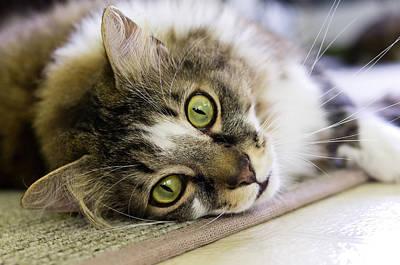 Tabby Cat Looking At Camera Poster
