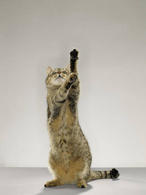 Tabby Cat Standing On Hind Legs With Stretching Out Paw Poster