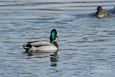 Poster featuring the photograph Talking Mallard by Mark McReynolds