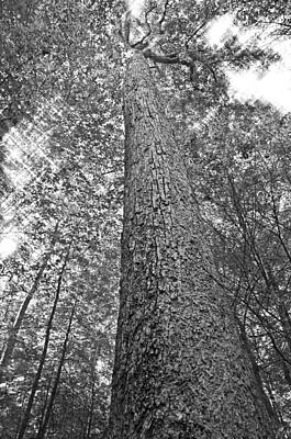 Poster featuring the photograph Tall Tree With Sunshine by Susan Leggett