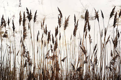 Tall Winter Grass Poster by Terence Davis