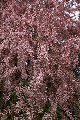 Tamarix Blossom (tamarix Gallica) Poster by Dr Keith Wheeler