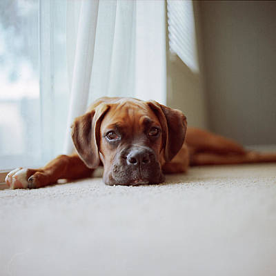 Tan Boxer Puppy Laying On Carpet Near Window Poster