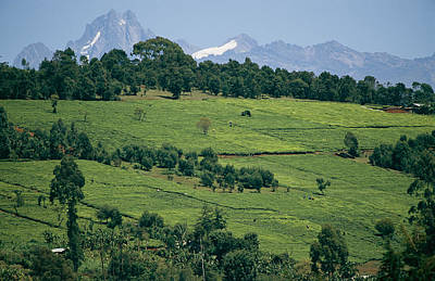 Tea Plantations Covering The Hills Poster by Michael S. Lewis